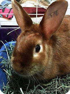 Satin Mix for adoption in Edinburg, Pennsylvania - Ginger