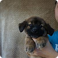 Adopt A Pet :: Lacey - Oviedo, FL