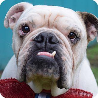 English Bulldog Mix Dog for adoption in Denver, Colorado - Gino