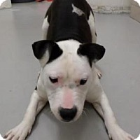 American Bulldog Mix Dog for adoption in Frenchburg, Kentucky - Sammy