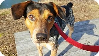 Beagle Mix Dog for adoption in Breinigsville, Pennsylvania - Cyrus
