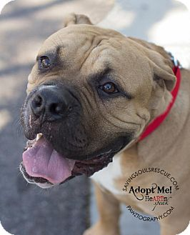 Mastiff Mix Dog for adoption in Scottsdale, Arizona - Bruce
