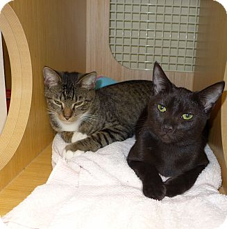 Domestic Shorthair Cat for adoption in Lighthouse Point, Florida - Rascal