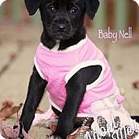 Adopt A Pet :: Baby Nell - Albany, NY