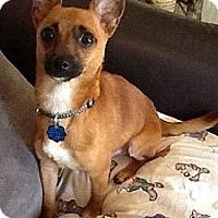 Adopt A Pet :: PeeWee - Brattleboro, VT