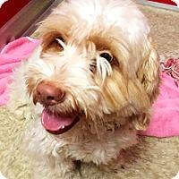 Adopt A Pet :: Butterscotch - Green Bay, WI