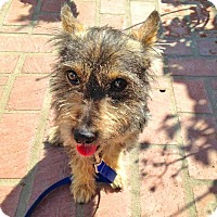 Adopt A Pet :: Billy - Burbank, CA