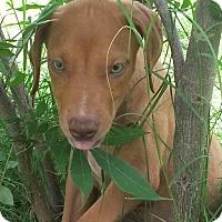 Adopt A Pet :: Doberman Pinscher Litter - Leming, TX
