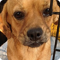 Adopt A Pet :: *Cricket - PENDING - Westport, CT