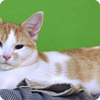Domestic Shorthair Cat for adoption in Bowling Green, Virginia - Dami