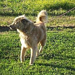 Photo 3 - Golden Retriever/Collie Mix Dog for adoption in Greenville, Rhode Island - Jake