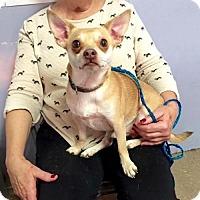 Adopt A Pet :: Hachi - Glastonbury, CT