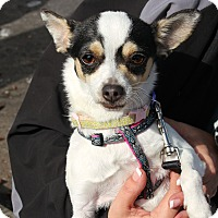 Adopt A Pet :: Sugar Muffin - Yuba City, CA