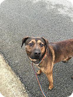 Labrador Retriever/Terrier (Unknown Type, Medium) Mix Dog for adoption in Jay, Maine - Duke
