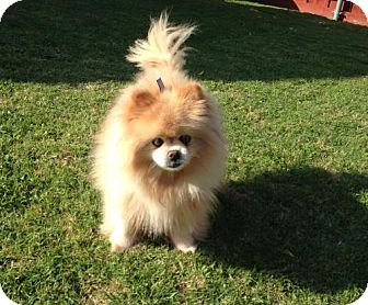 Pomeranian Dog for adoption in Dallas, Texas - Tulip