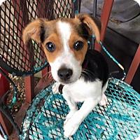 Adopt A Pet :: Basil - Bellbrook, OH
