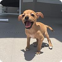 Adopt A Pet :: Pepe - Windermere, FL