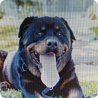 Adopt A Pet :: Dillion - Yelm, WA