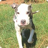 Adopt A Pet :: Lola - Youngsville, NC