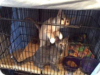 Domestic Shorthair Cat for adoption in Harrisburg, Pennsylvania - Lisa's Felv positive kitties