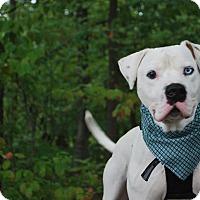 Adopt A Pet :: Drew - New Castle, PA