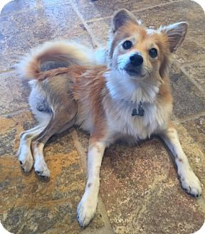 Shiba Inu/Spaniel (Unknown Type) Mix Dog for adoption in Fallbrook, California - Hero
