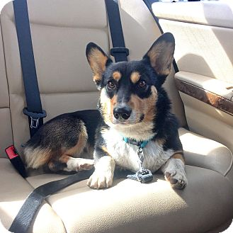 Pembroke Welsh Corgi Dog for adoption in Lomita, California - Palmer