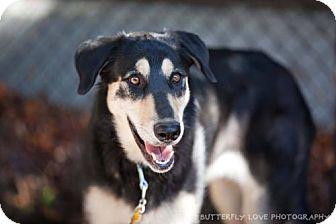 Shepherd (Unknown Type) Mix Dog for adoption in Salt Lake City, Utah - Aspen