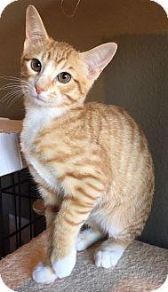 Domestic Shorthair Kitten for adoption in Fort Worth, Texas - Carmine