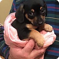 Adopt A Pet :: Ronan - Tucson, AZ