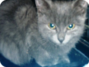 Russian Blue Kitten for adoption in Pasadena, California - Bluebelle