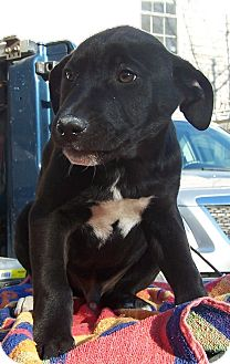 Labrador Retriever Mix Puppy for adoption in Little River, South Carolina - Brothers