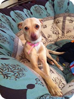 Italian Greyhound Mix Puppy for adoption in El Cajon, California - PRANCER