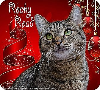 Domestic Shorthair Cat for adoption in Middletown, New York - Rocky Road
