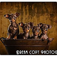 Adopt A Pet :: Min Pin Puppies! - Owensboro, KY