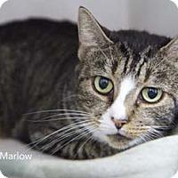 Adopt A Pet :: Marlow - Merrifield, VA