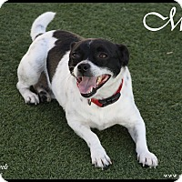 Adopt A Pet :: Milo - Rockwall, TX