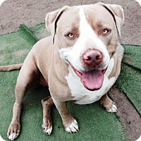 Adopt A Pet :: Marley - Bellflower, CA