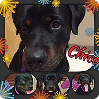 Adopt A Pet :: Chico - Gilbert, AZ