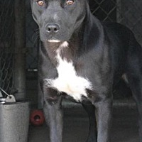 Labrador Retriever Dog for adoption in Memphis, Tennessee - Etta