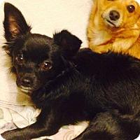 Adopt A Pet :: Chicky - selden, NY