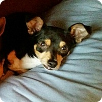 Miniature Pinscher/Chihuahua Mix Dog for adoption in Plano, Texas - Frankie