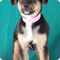 Adopt A Pet :: Stella - Waldorf, MD