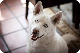 Husky/Alaskan Malamute Mix Dog for adoption in Santa Monica, California - Miley (Before + After!)