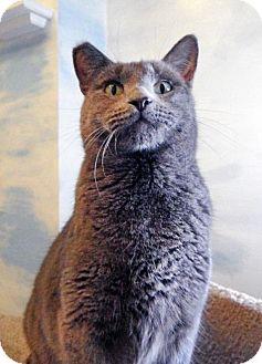 Domestic Shorthair Cat for adoption in Toledo, Ohio - EMILY