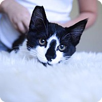 Domestic Shorthair Kitten for adoption in Walnut Creek, California - Poppyseed