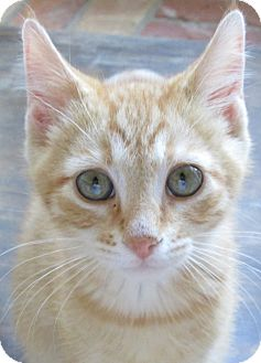 Domestic Shorthair Cat for adoption in Buhl, Idaho - Ojulius
