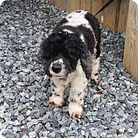 Cocker Spaniel Dog for adoption in Thomasville, North Carolina - Freckles