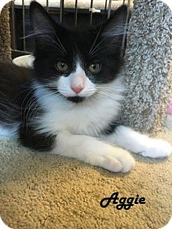 Domestic Mediumhair Kitten for adoption in Redwood City, California - Aggie and Amos