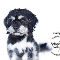 Adopt A Pet :: Mulligan - Castaic, CA